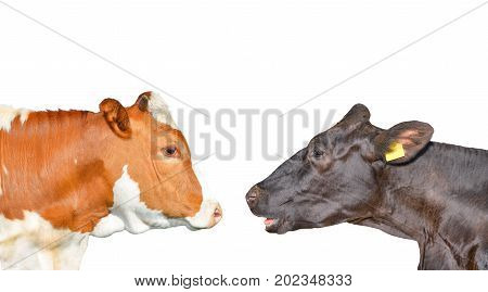 Two cows are looking at each other. Red spotted cow and black cow isolated on white. Cow portrait close up.
