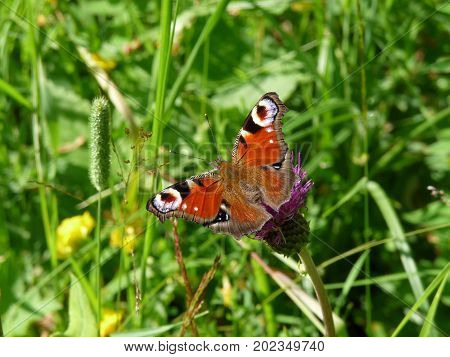 The European Peacock butterfly (Aglais io) sitting on the green grass