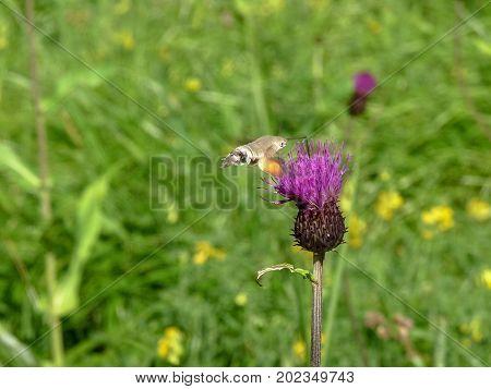 The hummingbird hawk-moth (Macroglossum stellatarum) is a species of moth.
