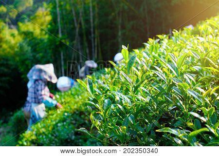 Asia culture concept image - Farmers pick up fresh organic tea bud & leaves in plantation the famous Oolong tea area in Ali mountain Taiwan