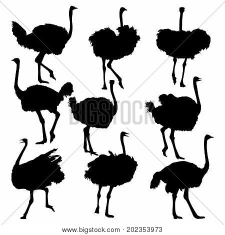 Set of ostrich full length isolated on white. Handsome male ostrich with beautiful feathers.