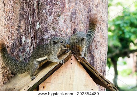 Two curious slender squirrel sits in a birdhouse hanging on the tree and Malaysia.