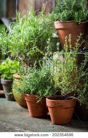 Homegrown And Aromatic Herbs In Summer Garden