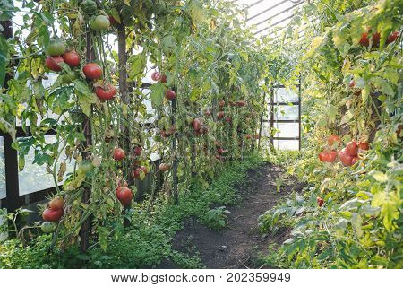 Tomatoes In The Greenhouse
