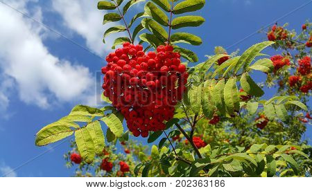 Branches of mountain ash with bright red berries against blue sky background