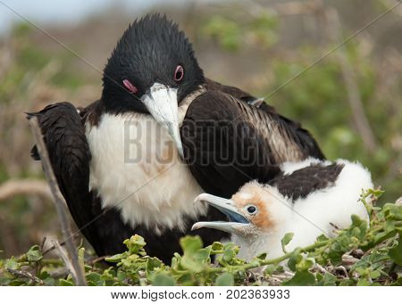 Mother And Baby Frigate Birds