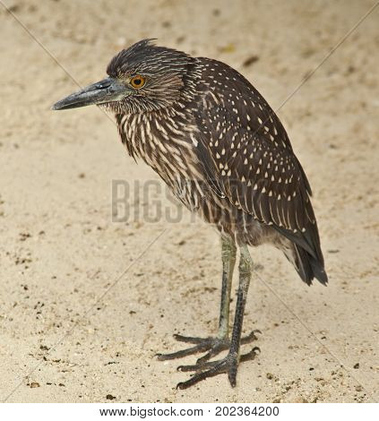 Galapagos Heron standing on sand looking camera left
