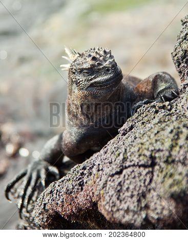 Galapagos Marine Iguana On Rock