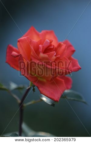 Flora, plants, flowers, roses, summer, beauty, decoration, flower bed