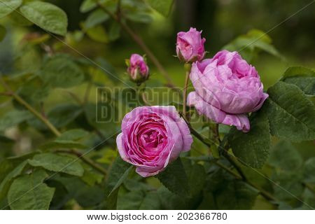 The famous Rosa Centifolia Foliacea (The Provence Rose or Cabbage Rose ) is a hybrid rose developed by Dutch rose breedersin the period between the 17th century and the 19 century ,possibly earlier