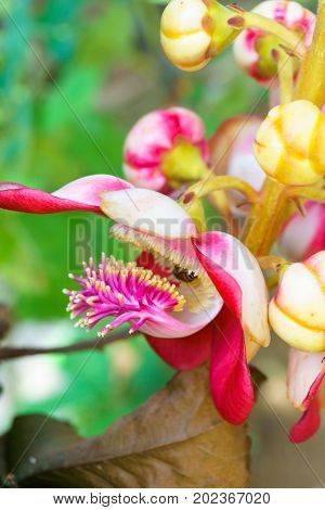 Cannonball Tree Or Sal Tree Flower With Bee