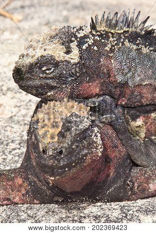 Two Marine Iguanas Sunning