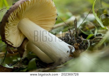 Mushroom russula grows in the forest on the grass
