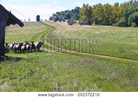 Flock of sheep grazing on the green meadow