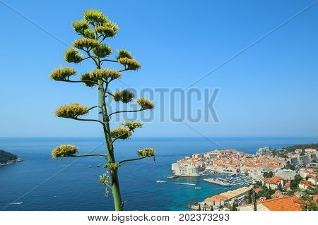 Agave flower stalk with a view of the old town in the background in Dubrovnik Croatia.