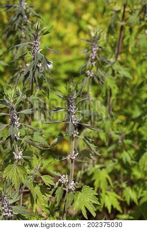 Leonurus cardiaca, known as motherwort, is an herbaceous perennial plant in the mint family, Lamiaceae. Other common names include throw-wort, lion's ear, and lion's tail