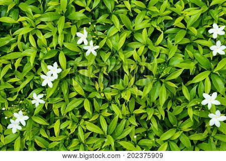Green Leaf With White Tiny White Flower. Can Use For Background