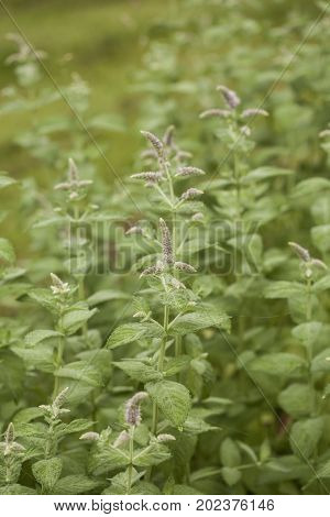 Apple mint ( synonyms Mentha suaveolens, pineapple mint, woolly mint or round-leafed mint ) in a summer herbs garden