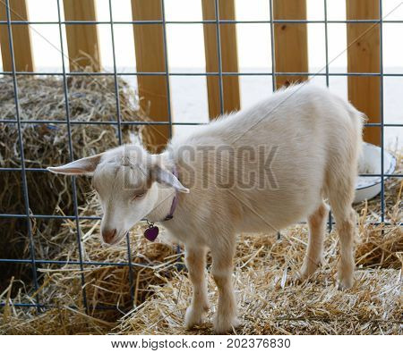 A white domestic goat kid (Capra aegagrus hircus), standing on a bale of hay.