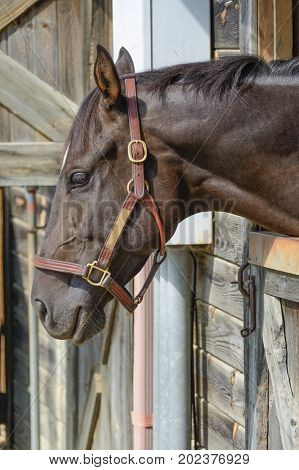 A dark brown domestic horse  Equus caballus), wearing a bridle, sticks its head out an open stable door.
