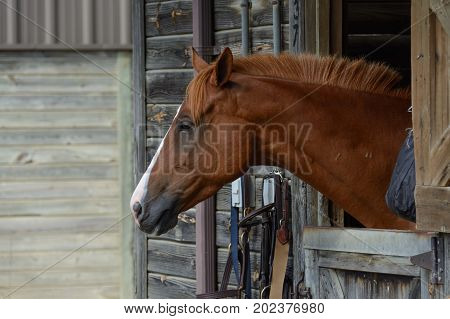 A chestnut colored domestic horse (Equus caballus) looking outside its stable stall door.
