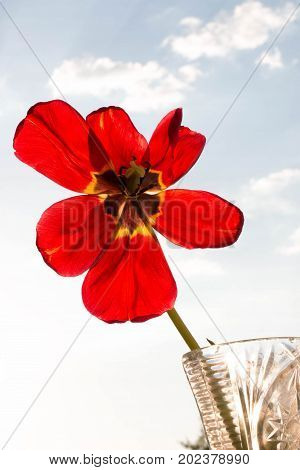The lone red flower stands in a vase.