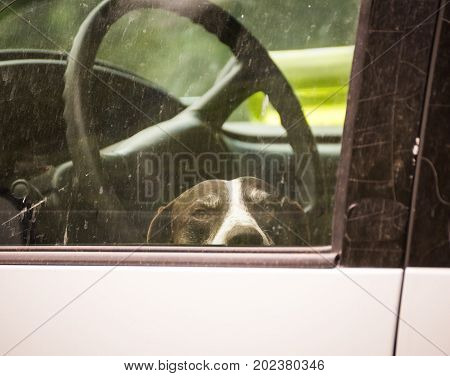 German Shorthaired Pointer dog waits inside a car or van.