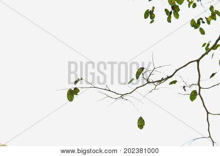 branch of tree with tiny leaf on white background.