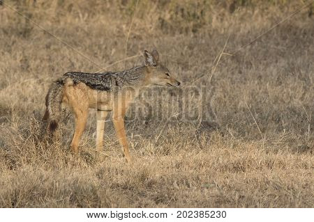 Male black-backed jackal tagging territory in the savanna in the dry season