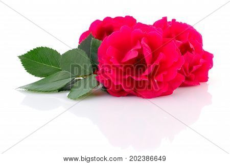 Three beautiful red roses on a white background.