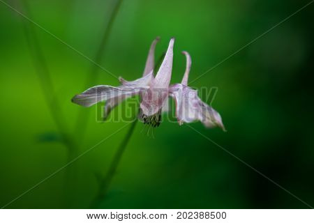 Pink aquilegia flower. Macro. Natural green background. Blurred background.