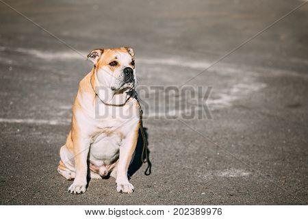 Ca de Bou or Perro de Presa Mallorquin is a typical Molossian dog. Outdoor. Copy space