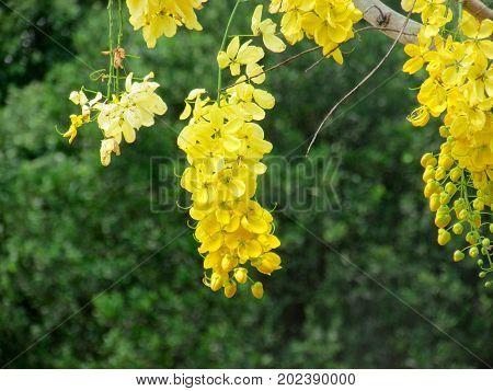 Acacia Amarela, Cassia Imperial, Canafistula, Chuva de Ouro poster