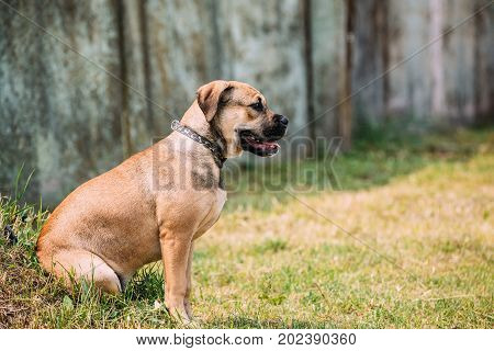 Ca De Bou Or Perro De Presa Mallorquin Puppy Sit Outdoor On Green Grass. Typical Molossian Dog