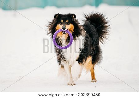 Funny Young Shetland Sheepdog, Sheltie, Collie Playing With Ring Outdoor In Snow, Winter Season. Playful Pet Outdoors.
