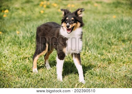 Young Happy Smiling Shetland Sheepdog Sheltie Puppy Playing Outdoor In Green Spring Meadow Grass