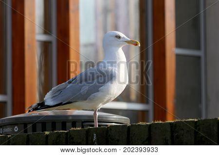 Close up portrait of a beautyfull Gull