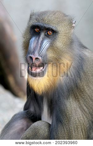 Close up portrait of a young male Mandrill
