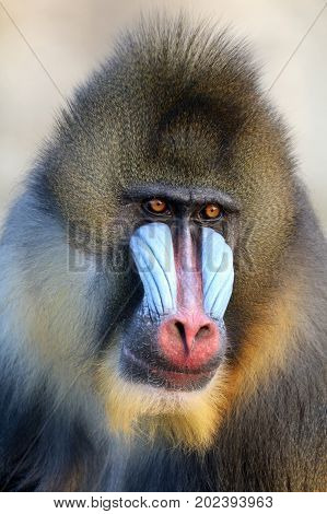 Close up portrait of a male Mandrill