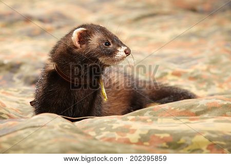 Ferret posing and relaxing on camou blanket