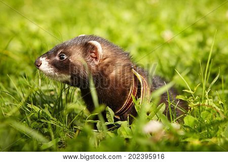 Ferret posing and relaxing in summer park grass