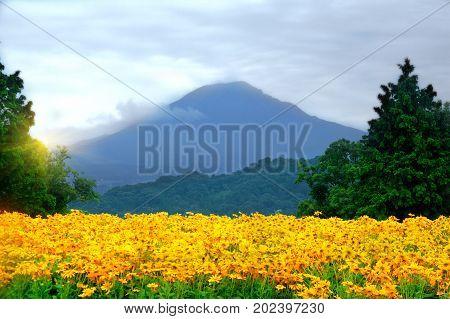 Yellow poppies against the backdrop of Mount Daisen Japan. Tottori Hanakairo flower park.