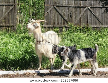 Adorable funny goats gazing on farm