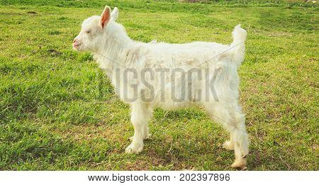 Cute little goat on green meadow