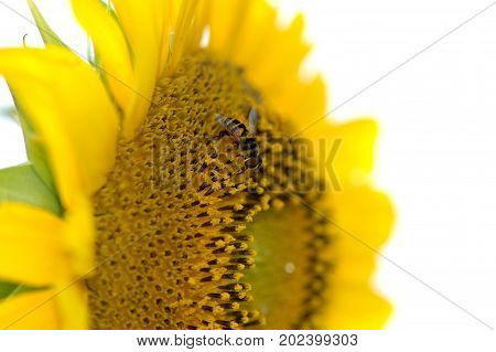 A small fly with nearly identical markings of the honey bee is seen here collecting pollen from a large sunflower head.