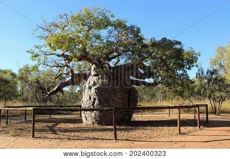 Giant Boab tree which has been used for a prison