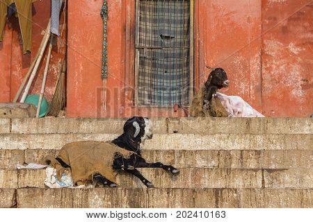 Resting goat on the ghat step of Varanasi city India
