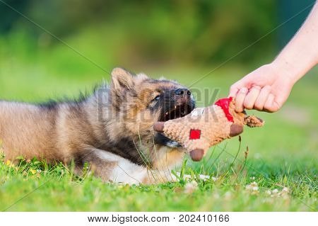 Man Shows An Elo Puppy A Soft Toy