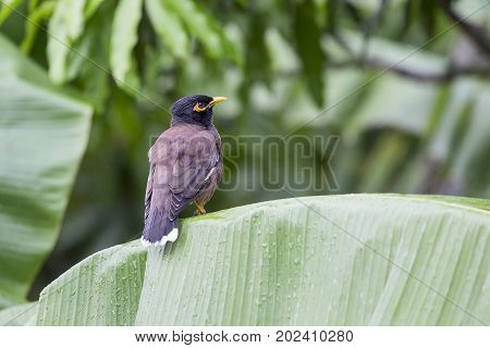 Bird hill mynah sits on a green palm leaf Gracula religiosa bird the most intelligent bird in the world. Close up