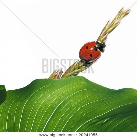 flora and ladybird against white background. poster
